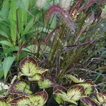 Pennisetum rubrum with Coleus Japanese Brocade