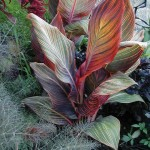 Canna Tropicana with bronze fennel, hopi red dye amaranthus and amethyst basil.