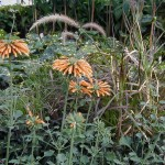 Leonotis menthaefolia takes the foreground.