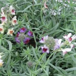 Linaria neon lights, an early spring accent