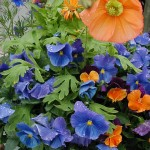Blue Pansies with Orange Iceland poppies and orange viola.