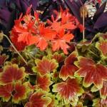 Pelargonium stellar Vancouver Centennial
