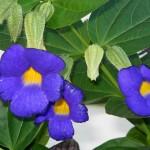 Thunbergia battiscombeii